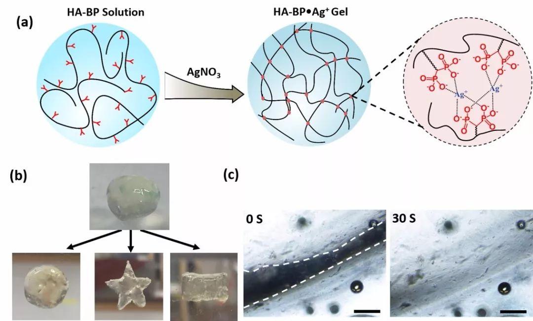 该水凝胶的成胶机理是Ag+ 离子和BP基团形成的动态配位化学键,正是由于动态的交联网络结构使得HA-BP·Ag+ 水凝胶表现出可随意塑形的特性以及在30秒内自愈合的性能。抗菌实验表明该水凝胶能够对革兰氏阳性和革兰氏阴性细菌均有杀伤效果,能够有效避免皮肤创伤中的细菌感染。此外,将HA-BP·Ag+ 水凝胶应用于大鼠全皮层损伤模型,结果显示该水凝胶材料能够显著性地(P < 0.